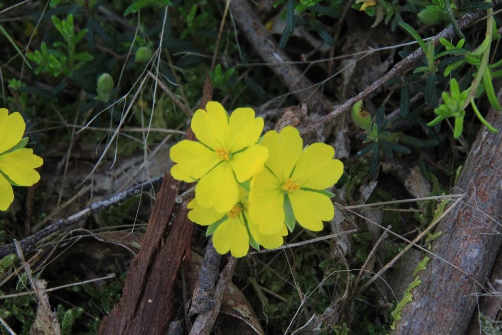 Guinea-flower cluster