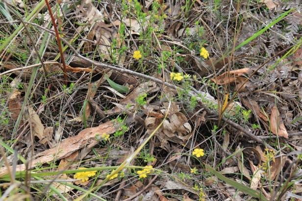 Guinea--flower ground cover
