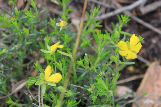 Guinea-flower bush