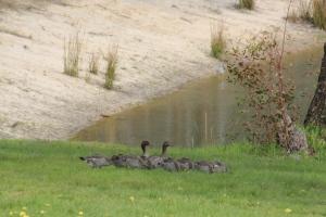 Nine Ducklings 1