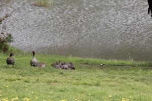 Nine Ducklings 2