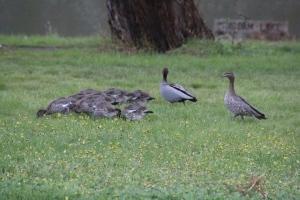 Nine Ducklings 3