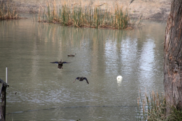 Pacific Black Duck 01