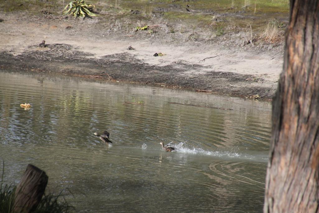 Sparring Pacific BlackDucks