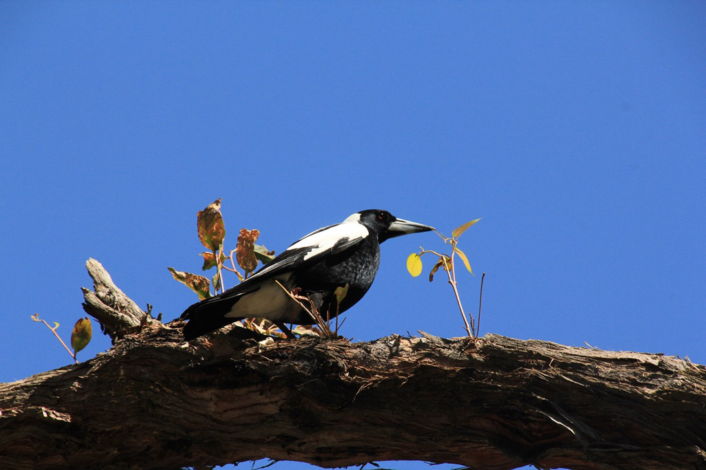 Magpie Breeding Habits