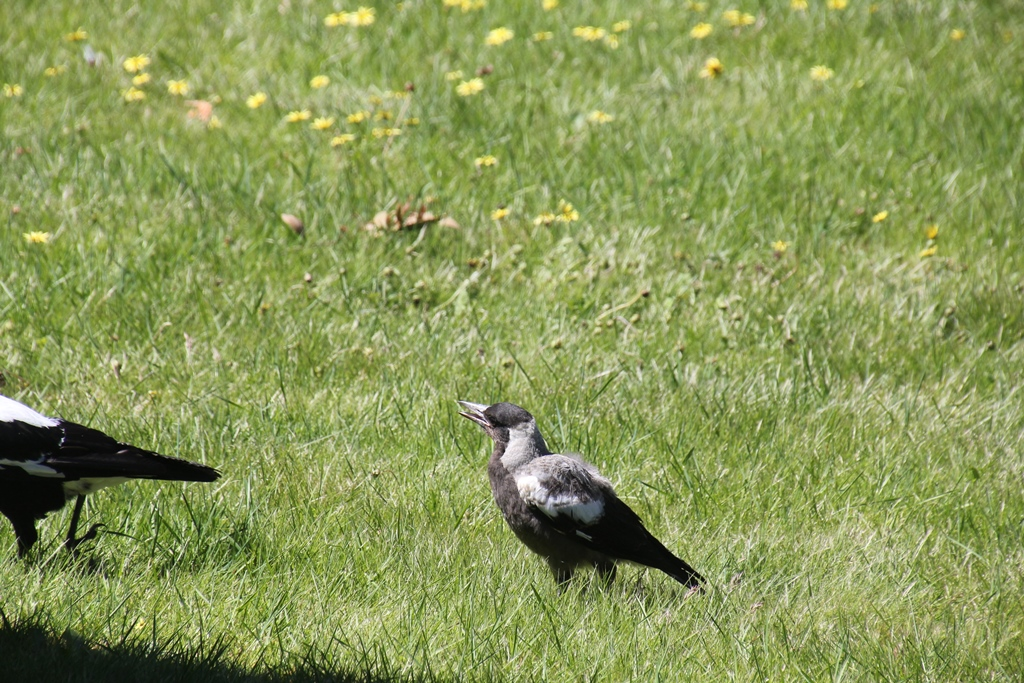 Magpie Chick Asking for Food