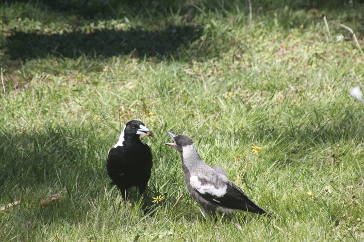 Magpie Feeding a Chick