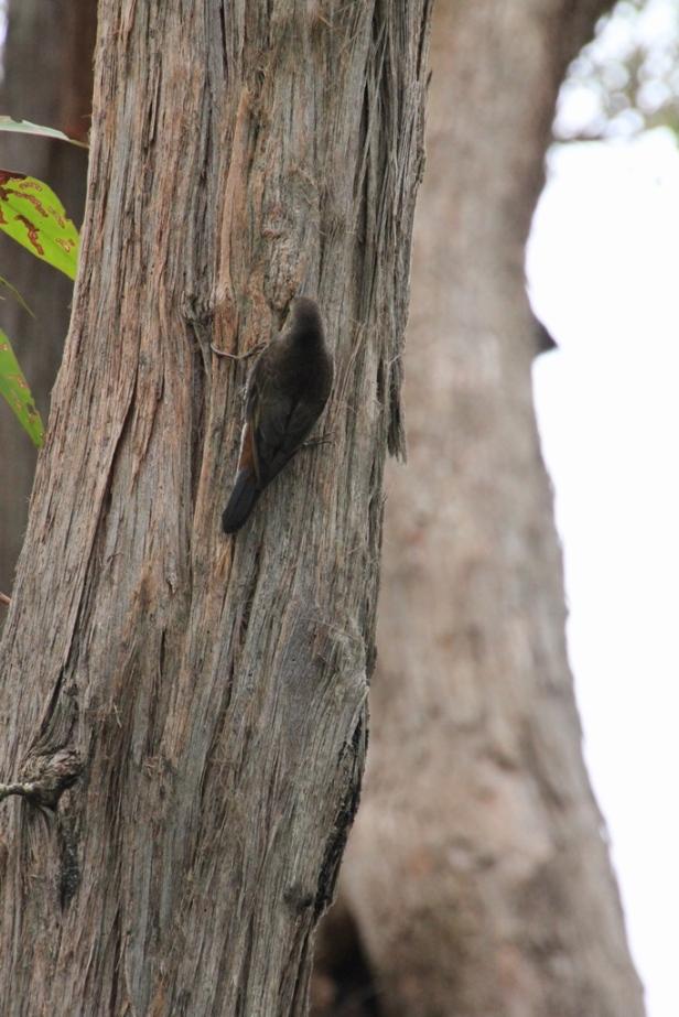 White-Throated Treecreeperr