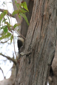 White-Throated Treecreepe