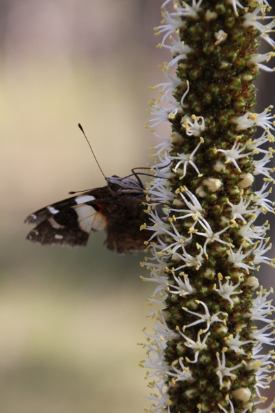 Butterfly on Xanthorrhoea
