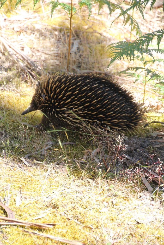 An Echidna Sighting at Last!