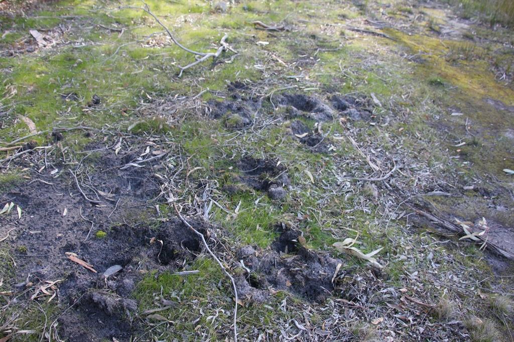 Echidna diggings