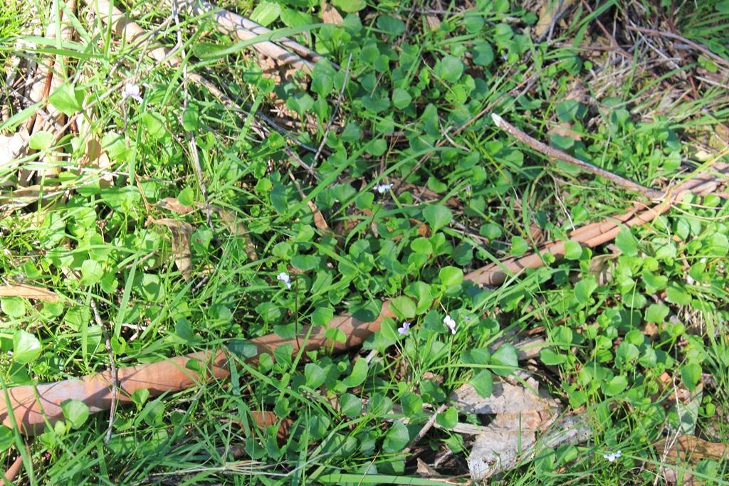 Ivy-leaf Violet