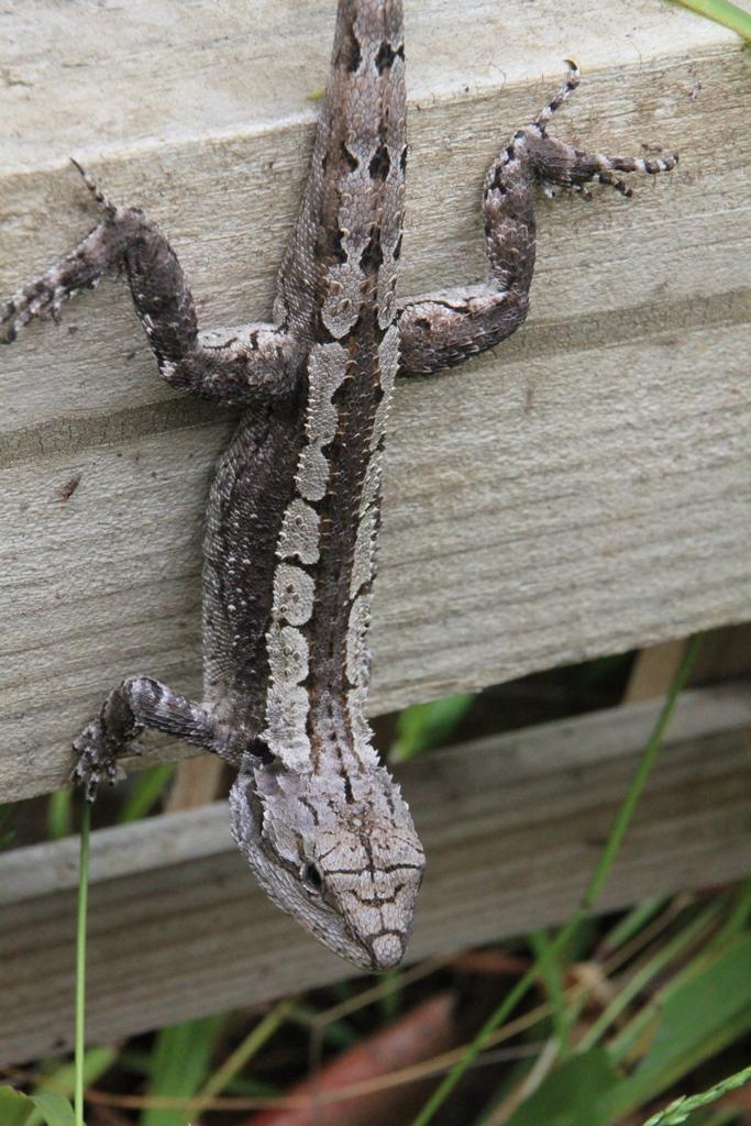 Jacky Dragon on the fence