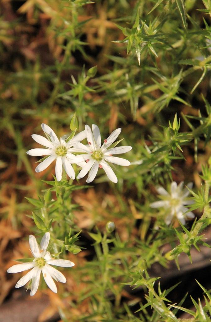Prickly Starwort (Stellariapungens)