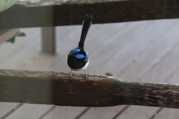 Male Fairy Wren on Wheelbarrow