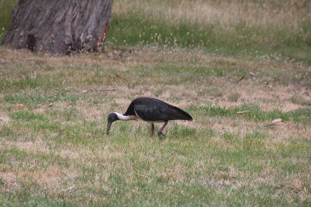 Iridescent Feathers – the Straw Necked Ibis Returns
