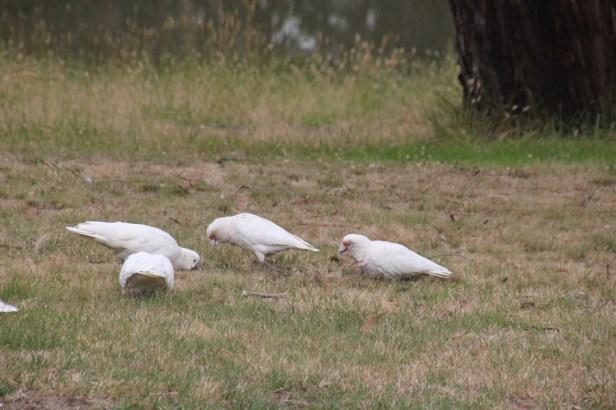 Cockatoos and Coresllas