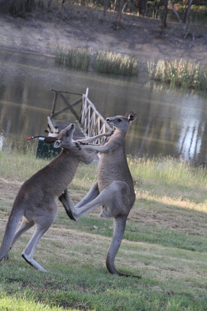 Testing Their Strength: Young male kangaroos sparring