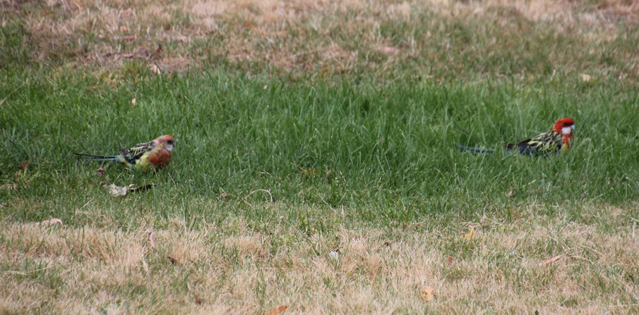 Eastern Rosella Pair