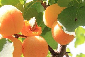 Ripe Apricots Half Eaten