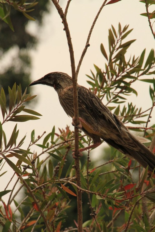 Injured Wattlebird 02