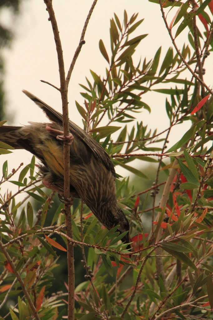 Injured Wattlebird 03