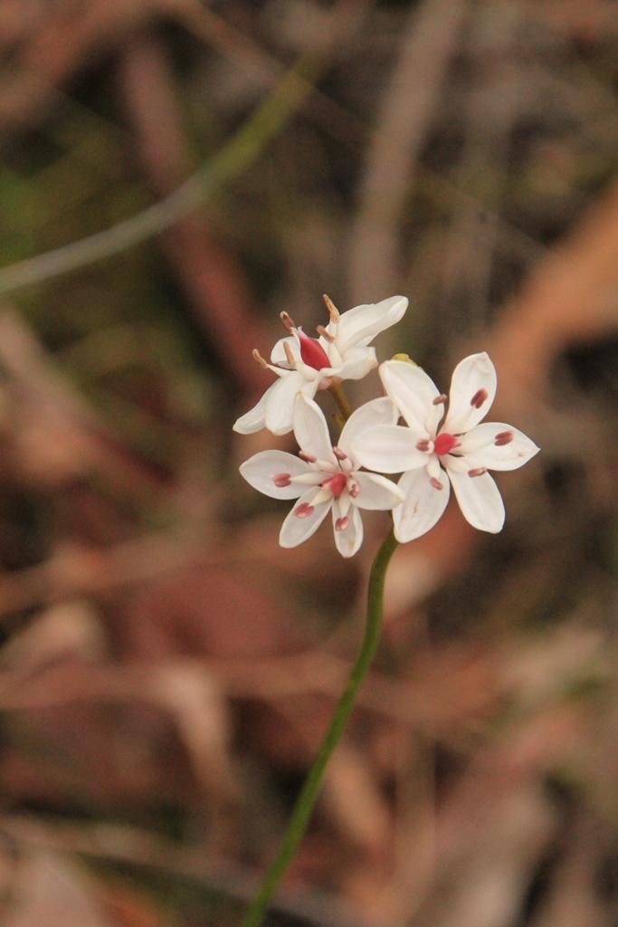 Milkmaid Flowers