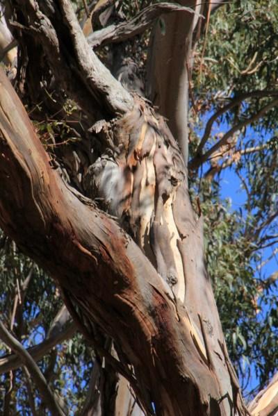 The Rawshack Tree