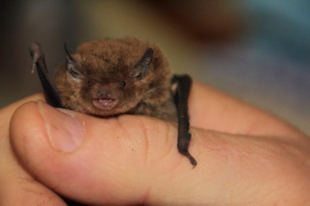 Rescued Bat