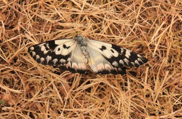 A Female Spotted Jezebel Butterfly