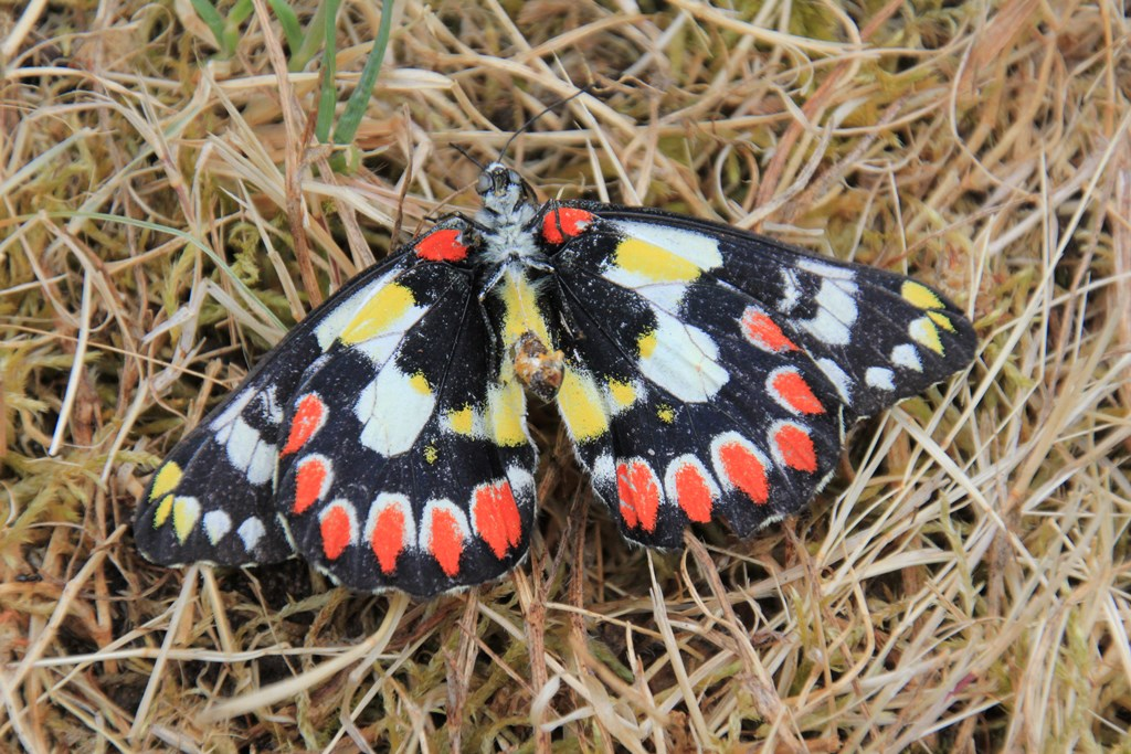 Underside of Spotted Jezebel Wings
