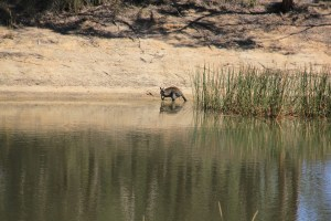 Swamp Wallaby Drinking