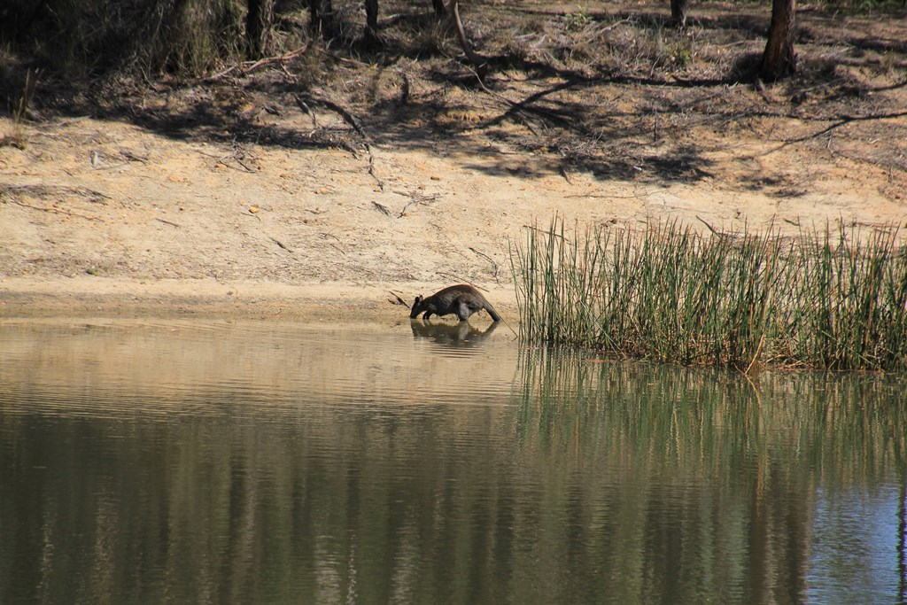 Swamp Wallaby Drinking 2