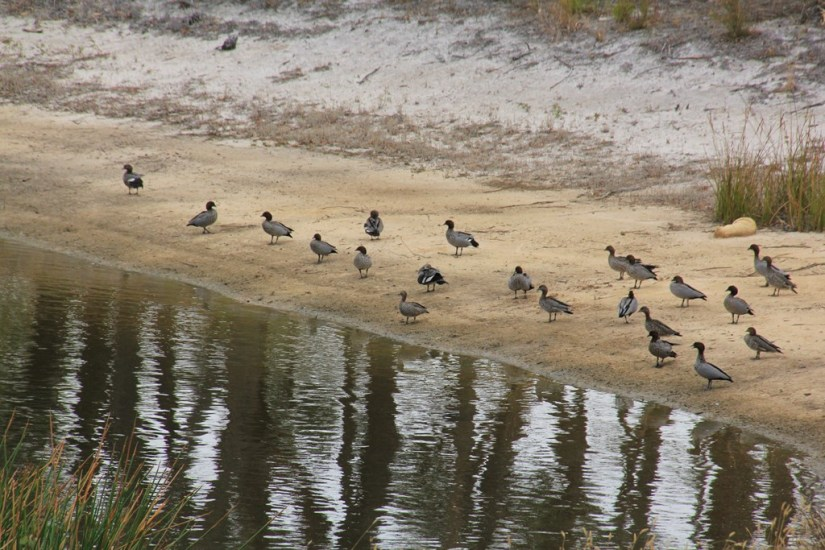 A Gathering of Ducks