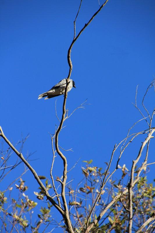 Black-Faced Cuckoo-Shrike 2