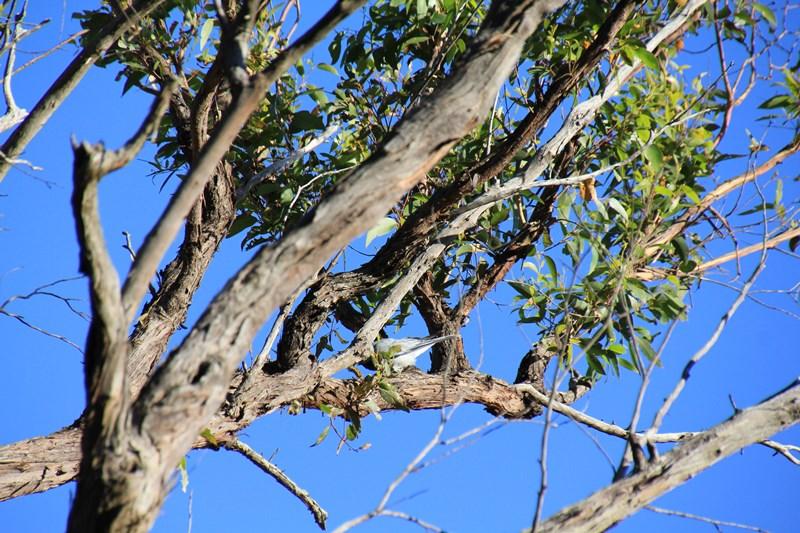 Black-Faced Cuckoo-Shrike 3