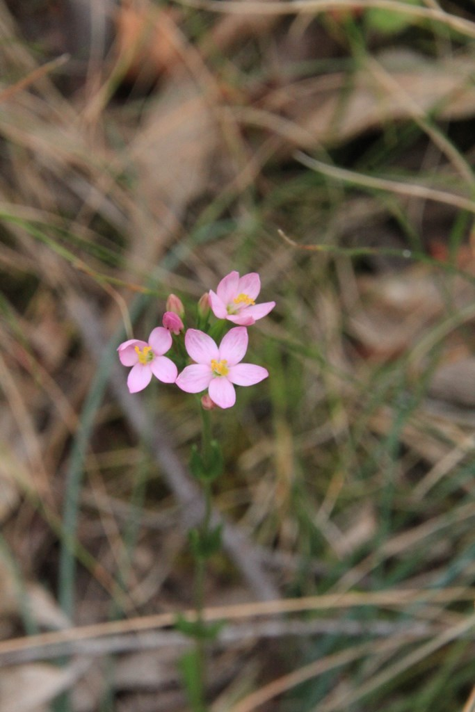 Exotic:  Common Centaury (Centaurium erythraea)