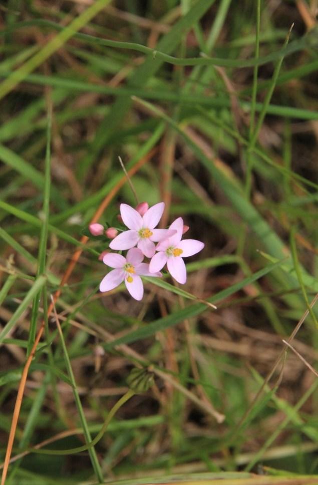 Centaurium Erithraea 2
