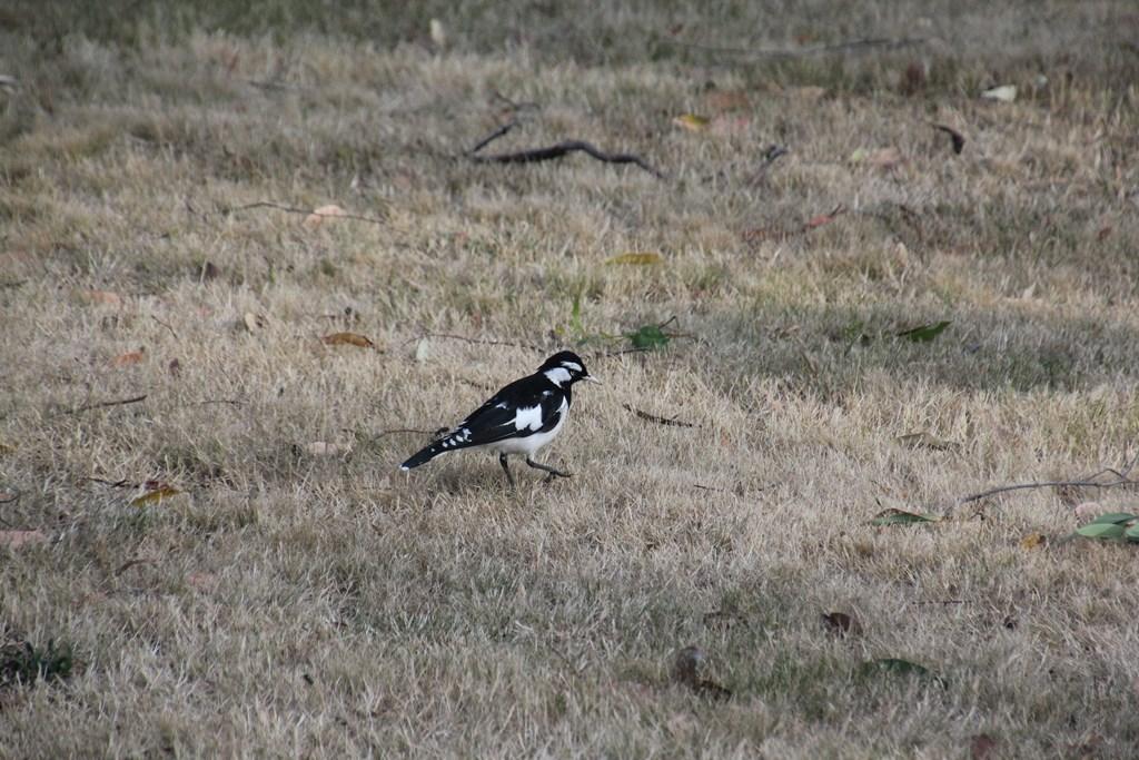 Adult Male Mudlark