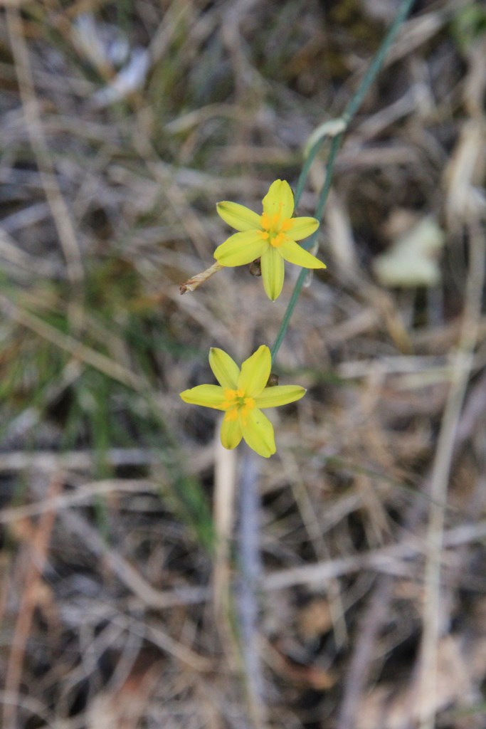 Yellow Rush-Lily 1