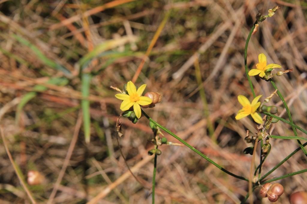 Yellow Rush-Lily 2