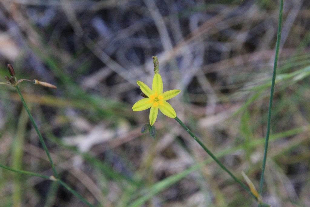 Yellow Rush-lily (Tricoryneelatior)