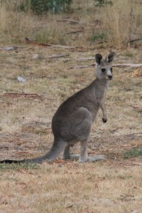 Young Male Joey