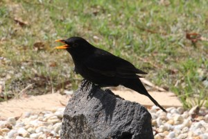 Exhausted Blackbird