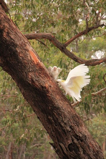 Long-Billed Corella and Sulphur-Crested Cockatoo