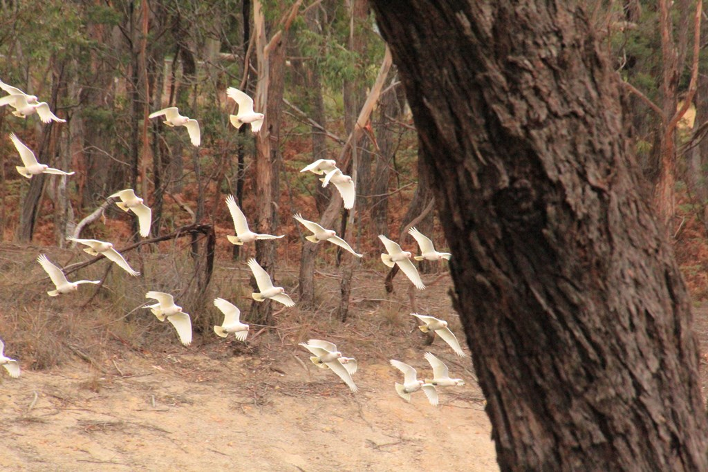 Long-Billed Corella Flocks