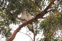 A Pair of Long-Billed Corella