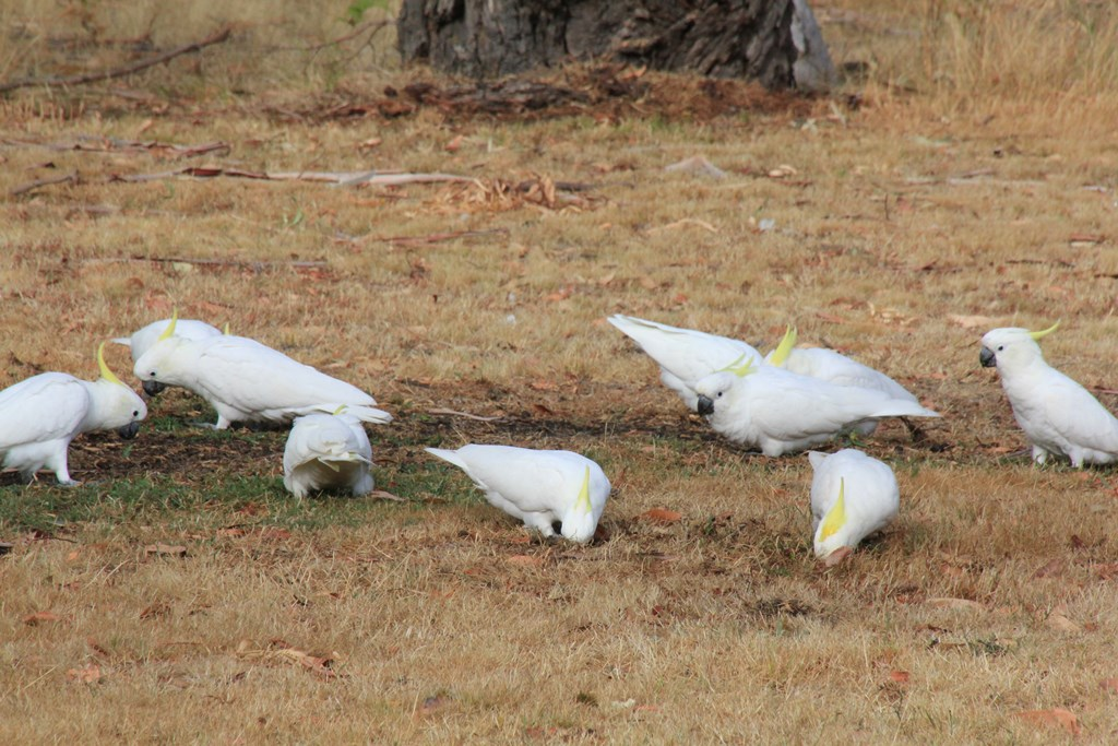 Digging Cockatoos