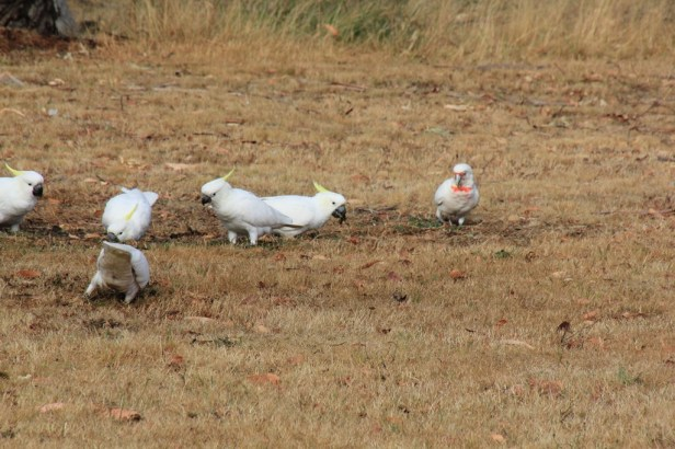 Corella with Cockatoos